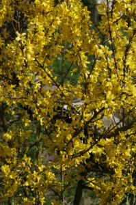 Forsythia sp. - forzicija 02
