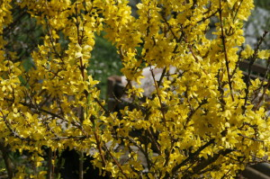 Forsythia sp. - forzicija 03