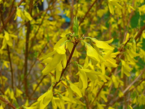 Forsythia sp. - forzicija 08