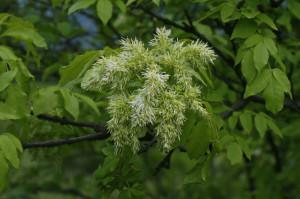 Fraxinus ornus - mali jesen 02