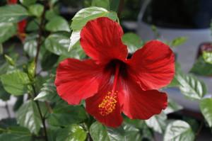 Hibiscus sp. - hibiskus 01