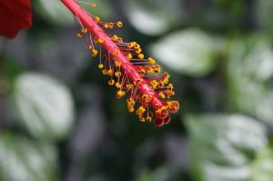 Hibiscus sp. - hibiskus 02