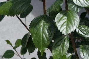 Hibiscus sp. - hibiskus 04