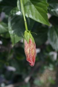 Hibiscus sp. - hibiskus 05