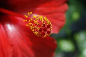 Hibiscus sp. - hibiskus 06