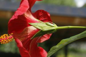 Hibiscus sp. - hibiskus 07