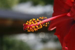 Hibiscus sp. - hibiskus 08