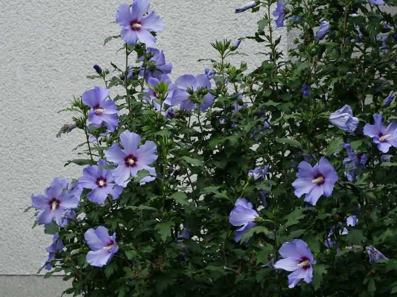 hibiscus syriacus blue bird sirski oslez vrtovi. Black Bedroom Furniture Sets. Home Design Ideas