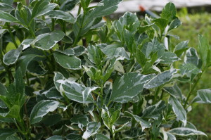 Hydrangea macrophylla 'Variegata' - pisanolistna hortenzija 01