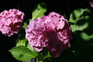 Hydrangea macrophylla - hortenzija 01