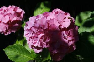 Hydrangea macrophylla - hortenzija 02