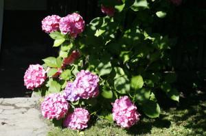 Hydrangea macrophylla - hortenzija 03