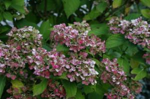 Hydrangea macrophylla - hortenzija 04