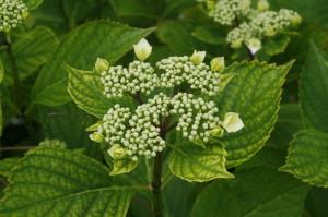 Hydrangea macrophylla - hortenzija 05