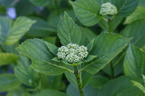 Hydrangea macrophylla - hortenzija 06