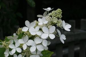 Hydrangea paniculata 'Unique' - bela hortenzija 01