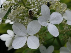 Hydrangea paniculata 'Unique' - bela hortenzija 03