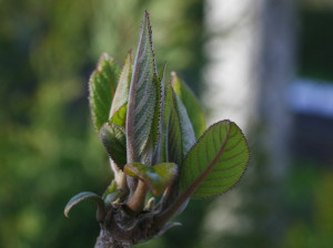 Hydrangea serrata - hortenzija 01