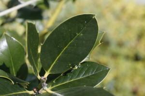 Ilex aquifolium - bodika 07