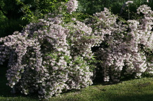 Kolkwitzia amabilis 'Pink Cloud' - kolkvicija 02