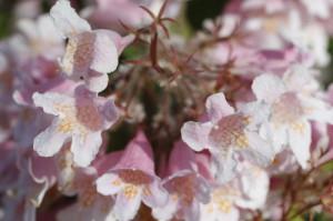 Kolkwitzia amabilis 'Pink Cloud' - kolkvicija 03