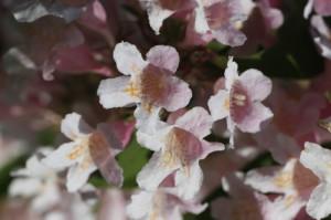 Kolkwitzia amabilis 'Pink Cloud' - kolkvicija 04
