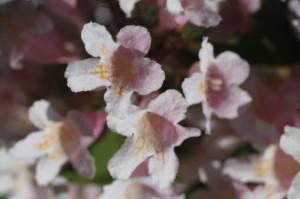Kolkwitzia amabilis 'Pink Cloud' - kolkvicija 05
