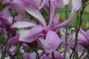 Magnolia 'Susan' - magnolija 01
