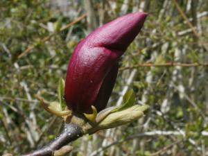 Magnolia liliflora 'Nigra' - magnolija 02