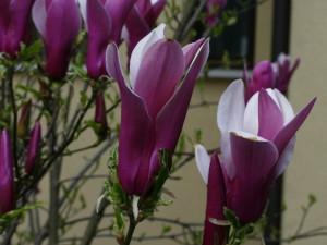 Magnolia sp. - magnolija 01