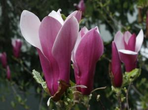 Magnolia sp. - magnolija 02