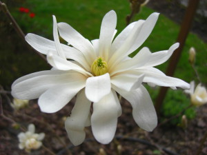 Magnolia stellata - zvezdasta magnolija 02