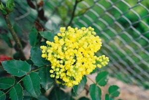 Mahonia aquifolium - mahonija 01