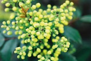Mahonia aquifolium - mahonija 02