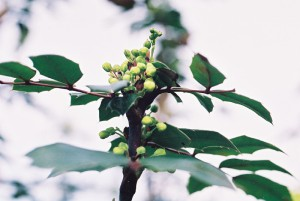 Mahonia aquifolium - mahonija 04
