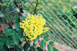 Mahonia aquifolium - mahonija 05
