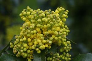 Mahonia aquifolium - mahonija 06