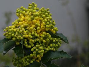 Mahonia aquifolium - mahonija 07