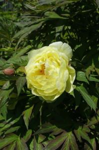 Paeonia suffruticosa - potonka 05