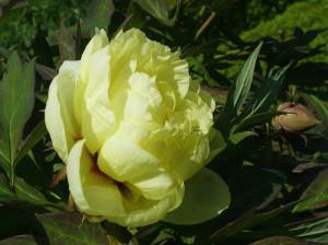 Paeonia suffruticosa - potonka 06