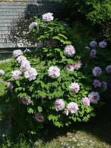 Paeonia suffruticosa - potonka 07