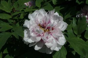 Paeonia suffruticosa - potonka 08