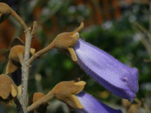 Paulownia tomentosa - polstena pavlonija 02