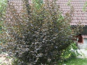 Physiocarpus opulifolius 'Diabolo' - mešičkar 04