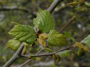Platanus occidentalis - ameriška platana 01