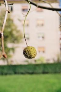 Platanus occidentalis - ameriška platana 04