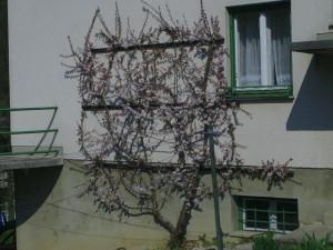 Prunus armeniaca - marelica 01