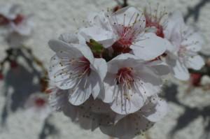 Prunus armeniaca - marelica 02