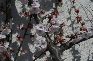 Prunus armeniaca - marelica 03