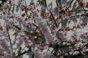 Prunus armeniaca - marelica 04